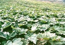 图2 礼县大黄种植基地